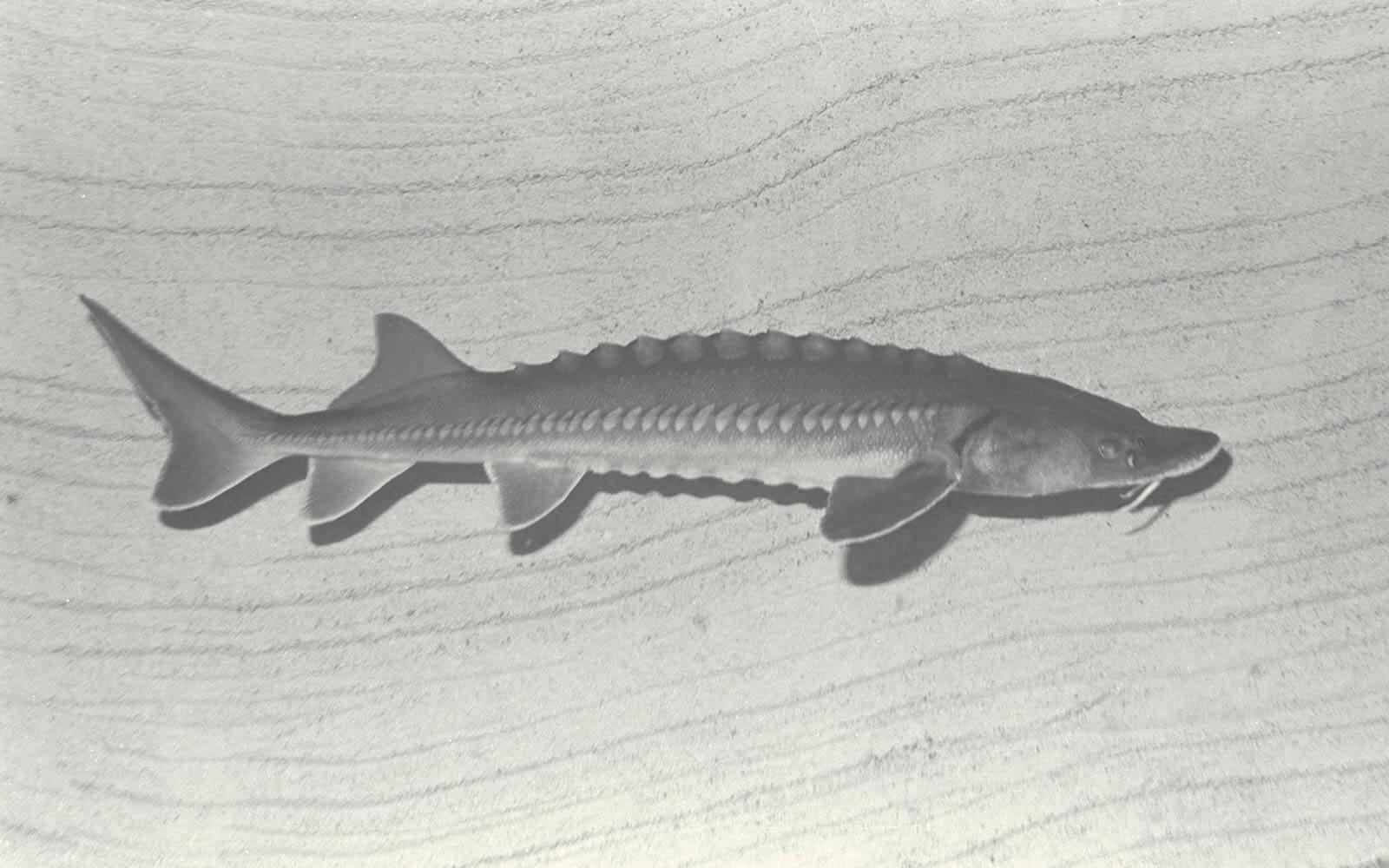 シアトル市からのシロチョウザメ