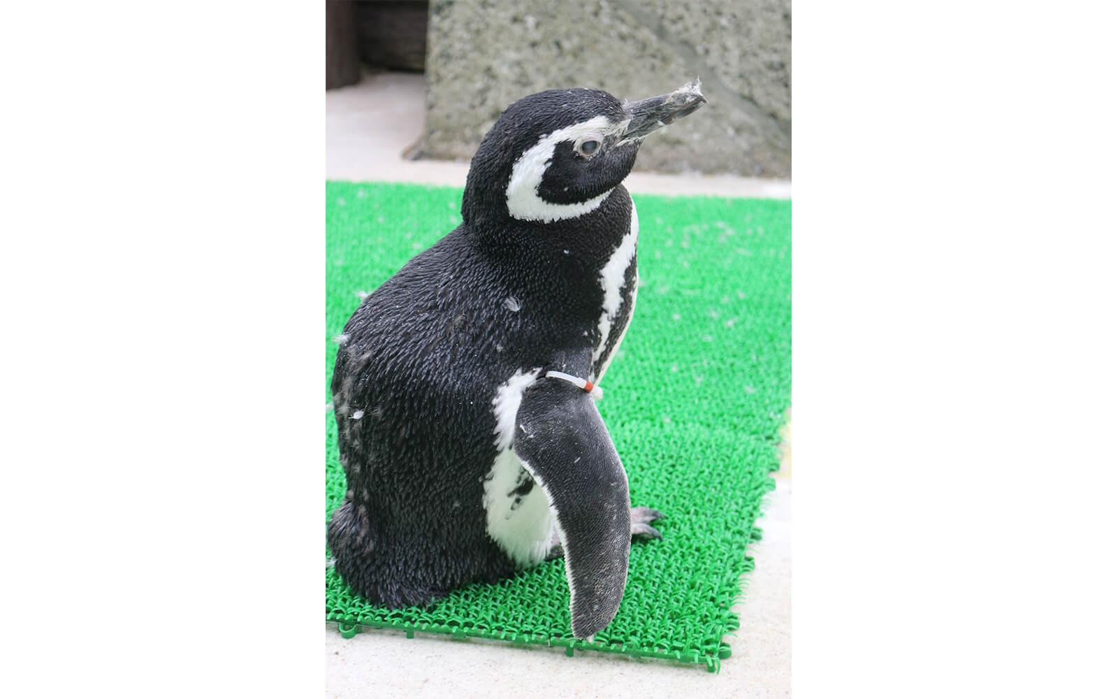 マゼランペンギン「茶銀♀(推定33歳)」長寿動物表彰